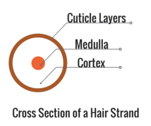cuticle-layers