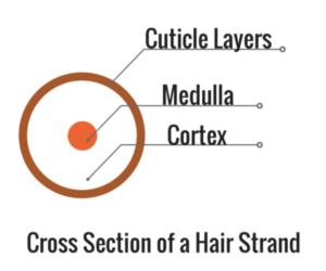 cuticle-layers